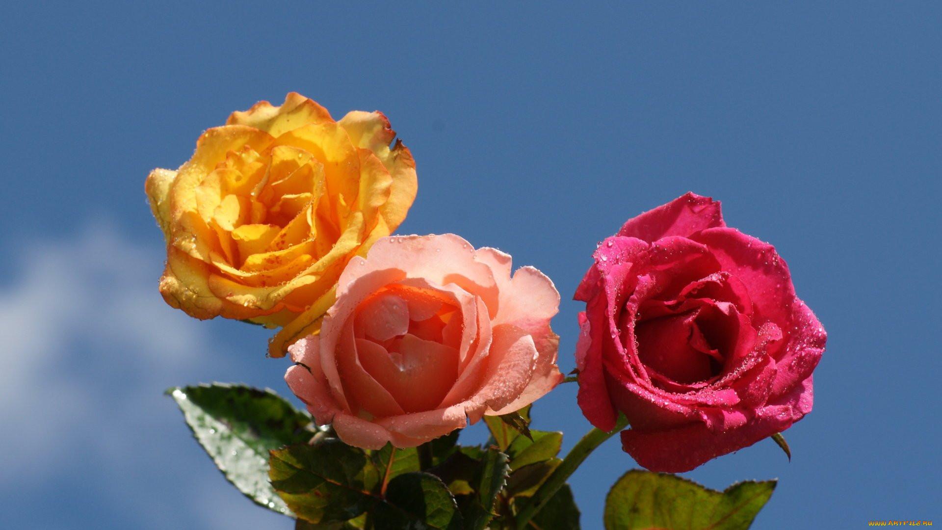 картинки на рабочий стол розы летом режиссер отпраздновал день
